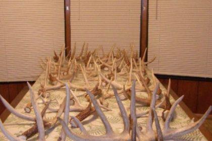Large deer antlers on table